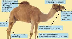 Camel Science