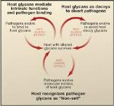 Synthesis and Biological Role of Glycans